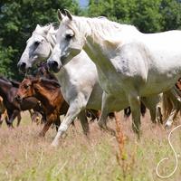 PRE Pferde weiß